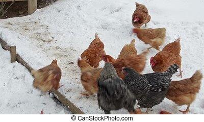 Chickens feeding grain in organic farm in snowy winter -...