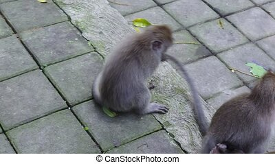Funny family of monkeys in Indonesia. Wild mammals on the...