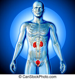 3D render of a medical image of a male figure with urinary system highlighted