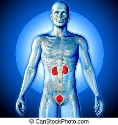 urinario, figura,  render, medico, sistema, evidenziato, maschio, immagine,  3D