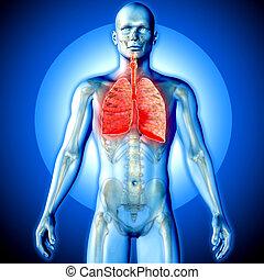 polmoni, figura,  render, medico, evidenziato, maschio, immagine,  3D