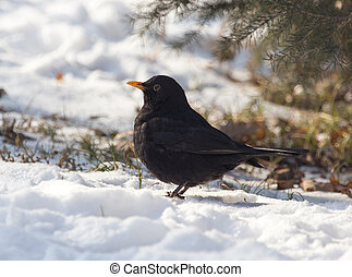 Starling on snow in winter