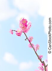Beautiful pink plum blossoms, Ume in Japanese language.