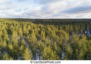 Aerial photo of winter pine forest in daylight, drone photo