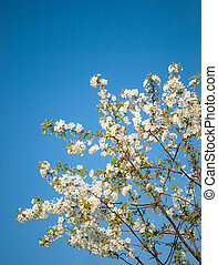 Blossoming cherry tree against blue sky