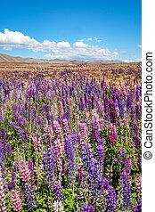 Beautiful landscape view of colorful lupin flowers, Tekapo,...