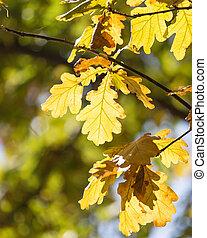 oak leaves in nature
