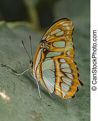 Common Sergeant Butterfly (Athyma perius)
