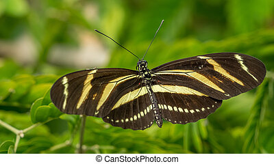 Zebra Longwing butterfly, Heliconius Charithonia
