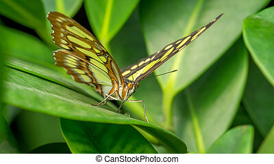 Malachite Butterfly, Siproeta Stelenes, at rest