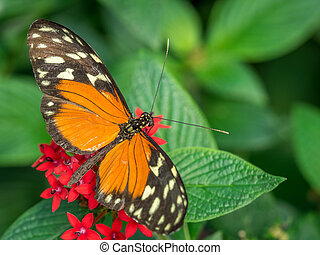 Tiger Longwing butterfly, Heliconius Hecale