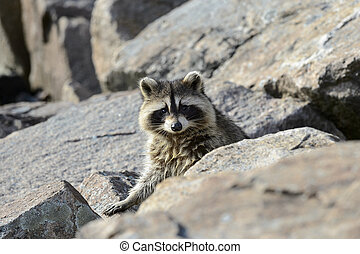 Raccoon eye contact - Raccoon pokes head up momentarily from...