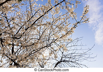 treetop with white flowers - crown with white flowers and...