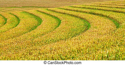 Green and yellow rice terraces background - Beautiful view...