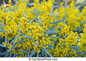 Australian acacia - Australian Wattle blooms on natural...
