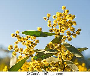 Australian acacia - Australian Wattle blooms on sky...