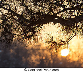 conifer tree at sunset in nature