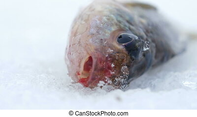 Live fish caught lying on the ice. Move the gills and mouth. Close-up