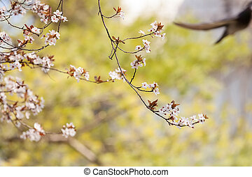 treetop with white flowers in the spring, note shallow dept...