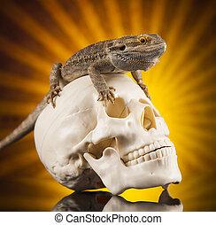 Lizard, human skull on black mirror background - Skull,...