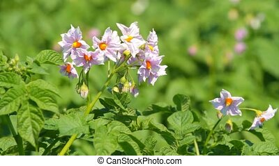 Flowering potatoes in the summer day