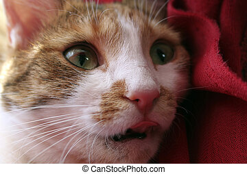 Cat with its tongue put out