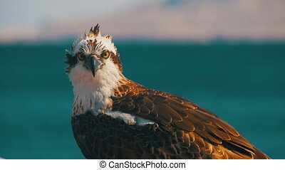 Marine Bird of Prey Osprey Sits on the Background of Red Sea...