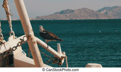 Marine Bird of Prey Osprey Sits on the Mast of the Ship's...