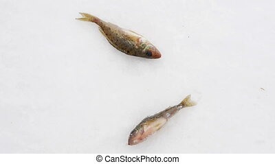 Live fish caught lying on the ice. Move the gills and mouth.