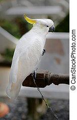 Beautiful white cockatoo