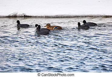 Groupd of coot and duck - Group of eurasian coot and duck on...