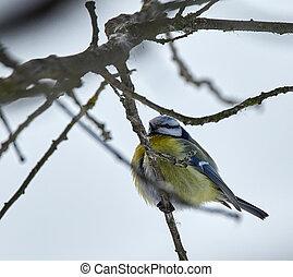 Blue tit on a twig - Blue tit (Parus caeruleus) perched on a...
