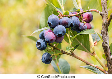 blueberry bush with ripe blueberries - closeup of blueberry...