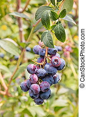 organic blueberries ripening on blueberry bush - closeup of...