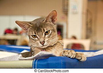 Abyssinian cat at an exhibition - Beautiful Abyssinian cat...