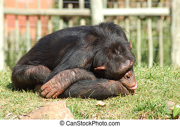 Chimpanzee in a zoo, looking depressed.