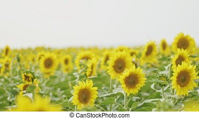 Field of Sunflowers in the wind, wide shot, cloudu day, wide...