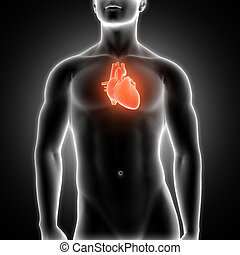 3D medical male figure with heart highlighted