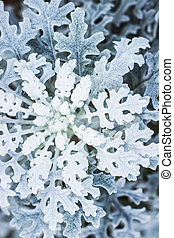 Snowflake-like plant, chrysanthemum