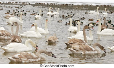 Birds on frozen lake at winter. Tens of hundreds of swans and ducks.