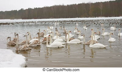 Birds on frozen lake at winter. Tens of hundreds of swans...