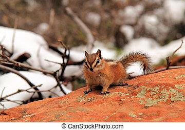 Chipmunk - Southwest, Zion National Park, Chipmunk