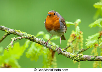 Robin perched on a oak branch with fresh leaves - A red...