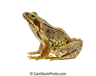 Common brown Frog white background - Alert Common Frog (Rana...