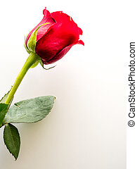 Red rose on white  background with copy space