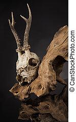 Deer skull, black mirror background - Weathered deer skull,...