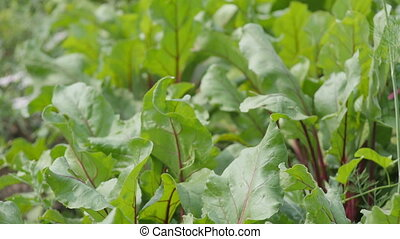 Beets in the garden - green leaves swaying in the wind,...