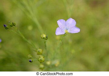 Linum marginale, family Linaceae wild flower