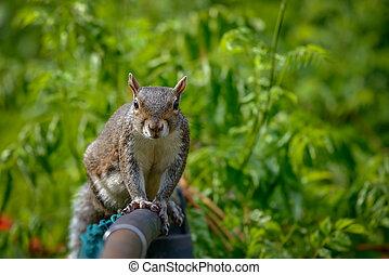 eastern gray squirrel - An eastern gray squirrel rests on a...