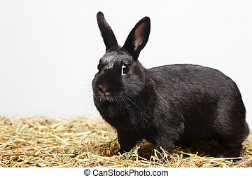 ?urious playful black rabbit standing on hay and looking in...